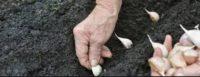 Cara Menanam Bibit Bawang Putih
