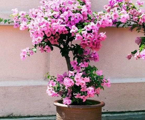 Tips Merawat Bunga Kertas Dengan Baik Dan Benar Dipekarangan