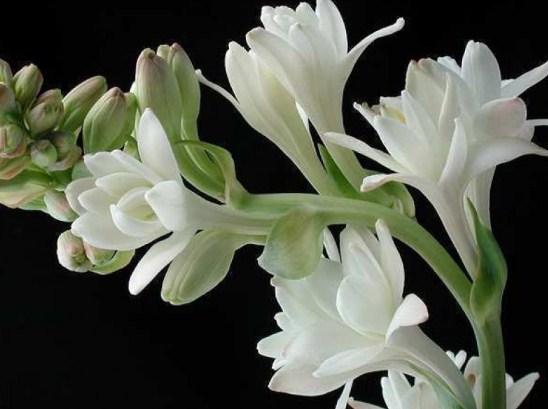 Tips Perawatan Bunga Sedap Malam Dengan Mudah Di Pekarangan