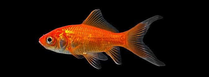 5 Teknik Budidaya Ikan Komet Dengan Mudah Untuk Pemula