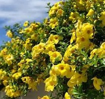 Jenis Bunga Alamanda Anekabudidaya Com