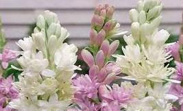 Cara Perawatan Tanaman Bunga Sedap Malam Dengan Mudah
