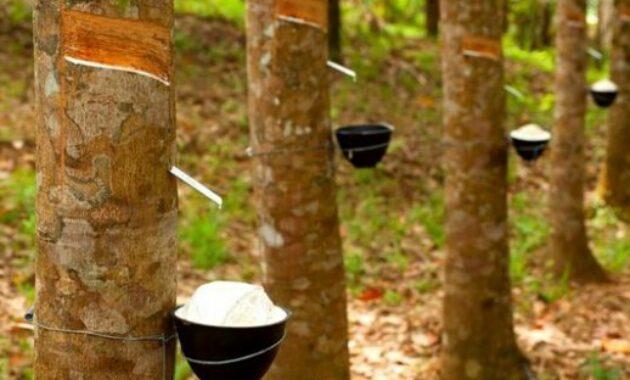 Cara Menanam Pohon Karet yang Baik dan Benar Untuk Pemula
