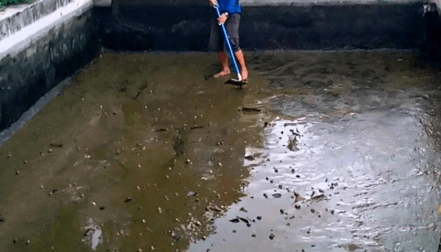 Bersihkan Kolam Ikan Patin