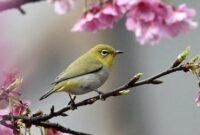 Cara Ternak Burung Pleci Agar Cepat Bertelur Bagi Pemula