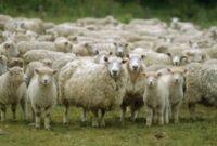 Cara Ternak Domba