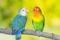 Cara Ternak Lovebird Agar Cepet Bertelur Bagi Pemula