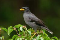 Cara Ternak Burung Jalak Kebo Bagi Pemula yang Baik & Benar