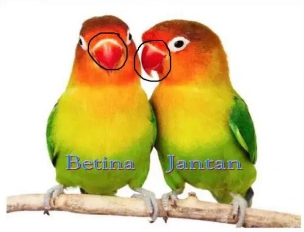 indukan Lovebird
