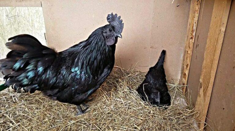 cara mengawinkan ayam cemani