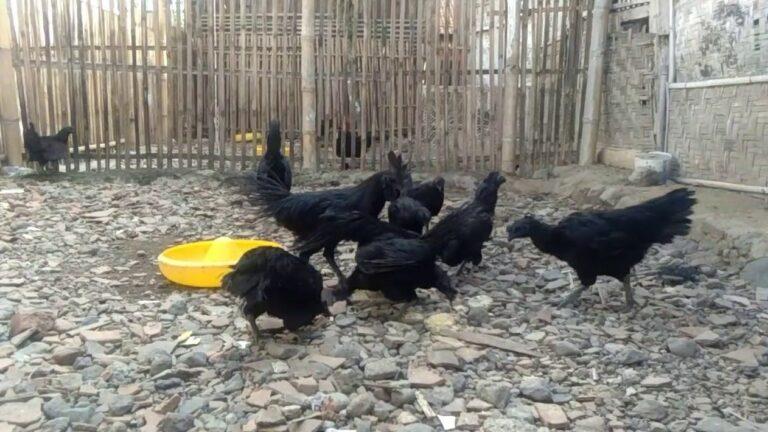 Panen Ayam Cemani