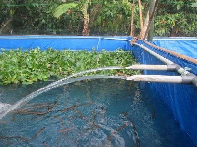 Persiapan Budidaya Ikan Sidat di Rumah