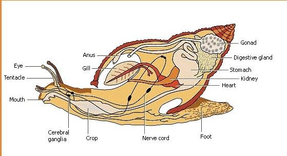 Proses Reproduksi Bekicot