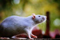 Cara Ternak Tikus putih