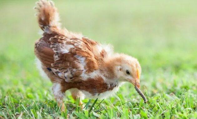 Anak Ayam Katai