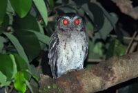 Cara Ternak Burung Hantu Celepuk