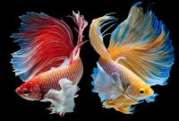 Pemilihan 2 jenis bibit ikan cupang Berkualitas
