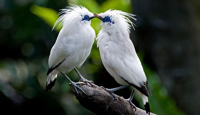 Burung Jalak Berkualitas