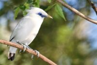Cara Ternak Burung Jalak Bali Bagi Pemula Sampai Sukses