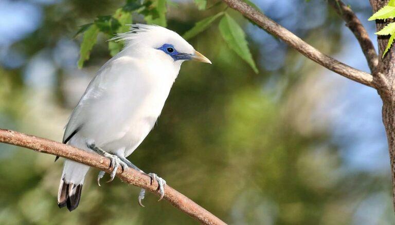 Berternak Burung Jalak Bali