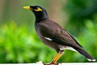 Cara Ternak Burung Jalak Nias Untuk Pemula Sampai Sukses