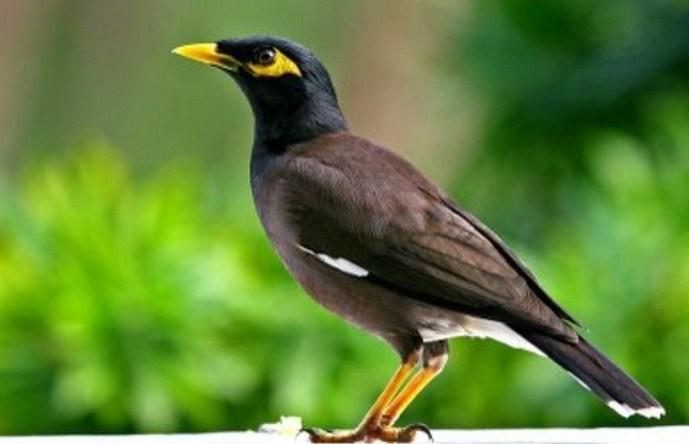 Burung Jalak Nias