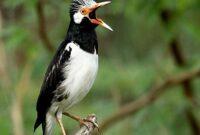 Cara Ternak Burung Jalak Suren Bagi Pemula Sampai Sukses