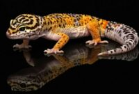 Cara ternak Leopard Gecko