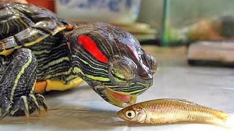 pakan kura-kura brazil