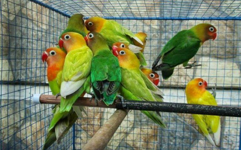 Masa Panen Lovebird
