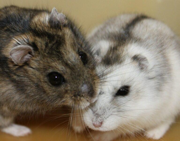 Musim Kawin hamster