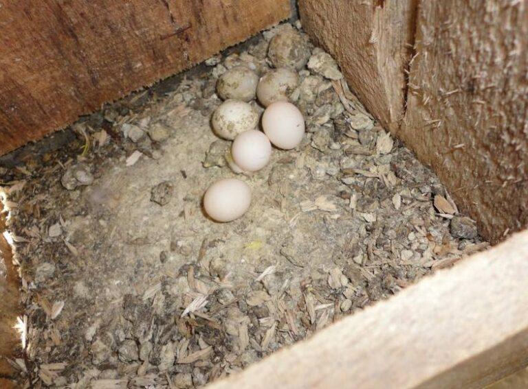Telur Lovebird