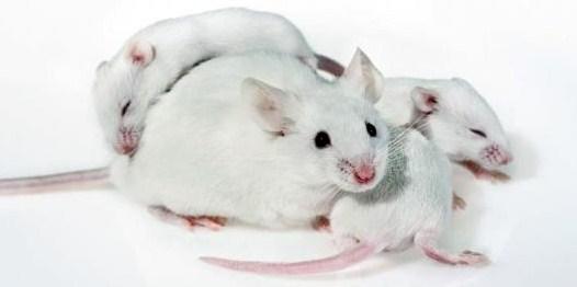 Mengawinkan Tikus Putih