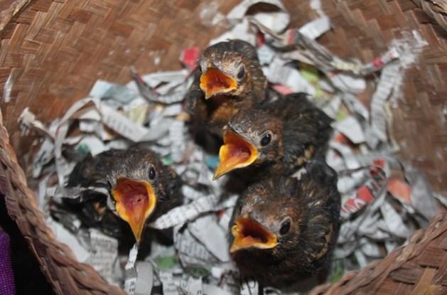 Merawat Anakan Burung Anis Merah