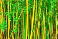 Cara Menanam Bambu Kuning yang Baik dan Benar Untuk Pemula