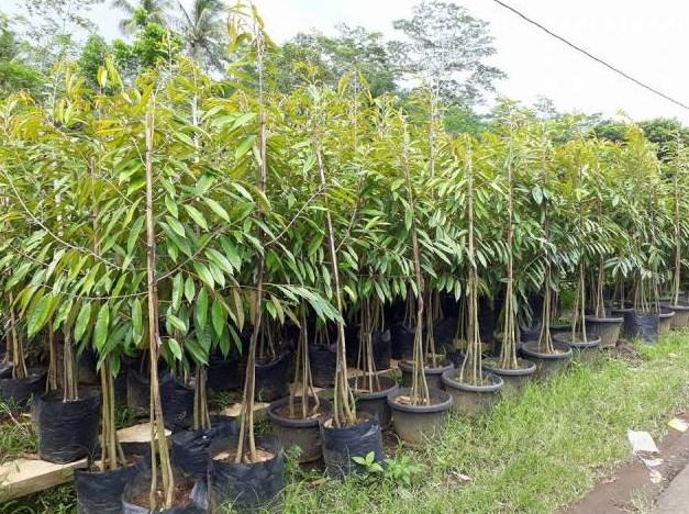 Bibit Buah Durian Pendek