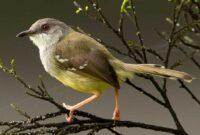 Cara Ternak Burung Ciblek Bagi Pemula Sampai Berhasil