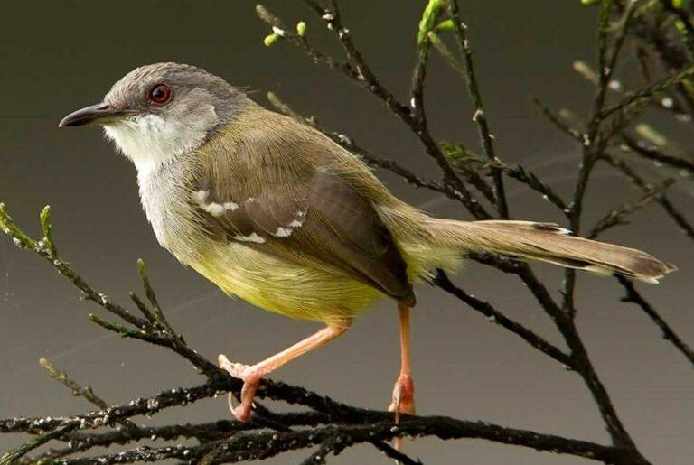 Berternak Burung Ciblek