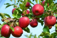 Cara Menanam Apel di Pekarangan Rumah yang Baik dan Benar