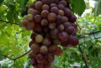 Cara Menanam Buah Anggur di Halaman Rumah Agar Cepat Berbuah