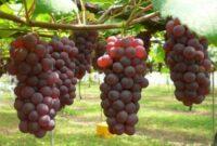 Cara Menanam Pohon Buah Anggur Agar Cepat Berbuah Bagi Pemula