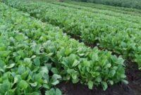 Cara Menanam Sayuran Sawi