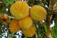 Cara Menanam Durian Montong Agar Cepat Berbuah
