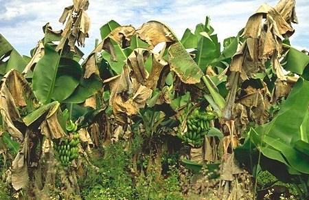 Hama Tanaman Pohon Buah Pisang