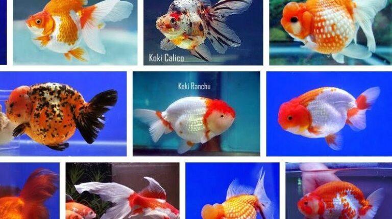 Pilih Jenis Ikan Mas Koki