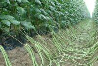 Cara Menanam Kacang Panjang Agar Hasilnya Optimal