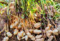 Cara Menanam Kacang Tanah di Polybag yang Baik dan Benar