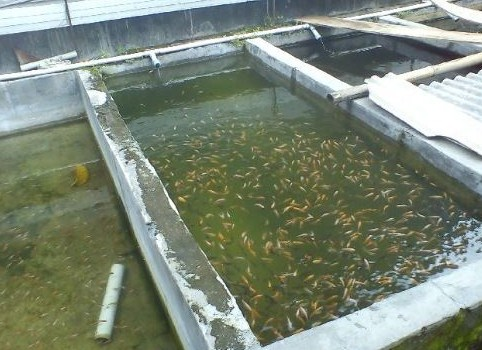 Membuat Kolam Pembenihan Ikan Mas Koki
