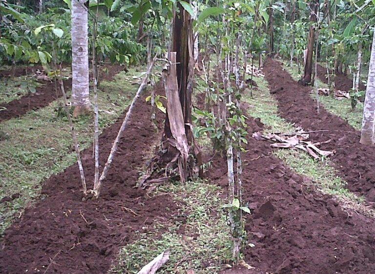 Lokasi Penanaman Buah Durian Pendek