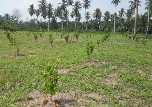 Lokasi Tanam Durian Montong